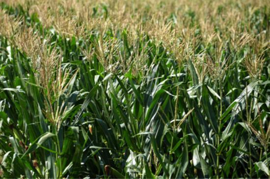 美国农民担忧特朗普政策将重创美国农业。(图片来源:美媒资料图)