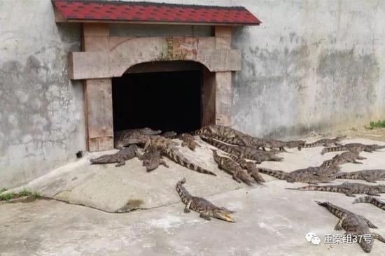 法院网拍活鳄鱼:竞拍者需有合法资质 否则为悔拍