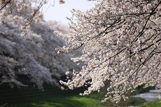 日本东京盛开的樱花(图源:日本《朝日新闻》)