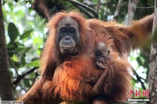 资料图:苏门答腊猩猩