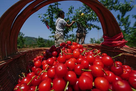 果农在采摘樱桃。樱桃种植成为贵州省镇宁县农业产业扶贫的特色产业。视觉中国 资料