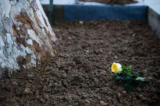 """那是玛格丽特两世正在战争树下插下的""""永久的北京·辛德贝格玫瑰""""。新华社记者李响摄"""