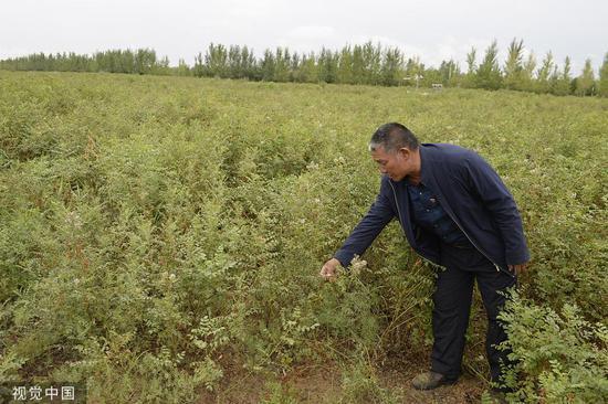 库布齐戈壁曾沙化严峻,现在栽种苦草,管理沙化的同时给农牧平易近带去经济效益 @视觉中国