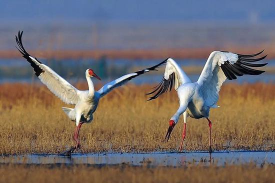 黑鹤材料图。滥觞:江西鄱阳湖国度干天公园