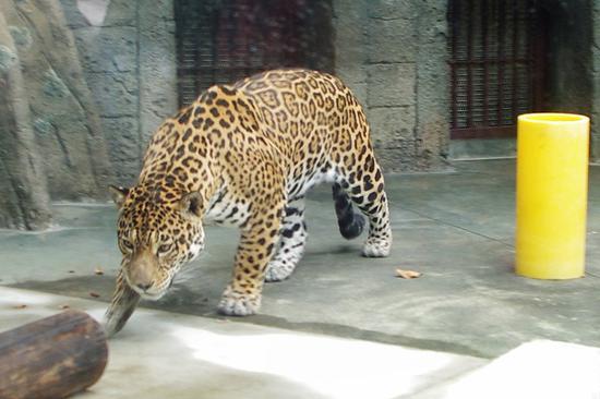 """到来己上海栽物园的美洲豹(日本旅游网站""""Lmaga.jp"""")"""
