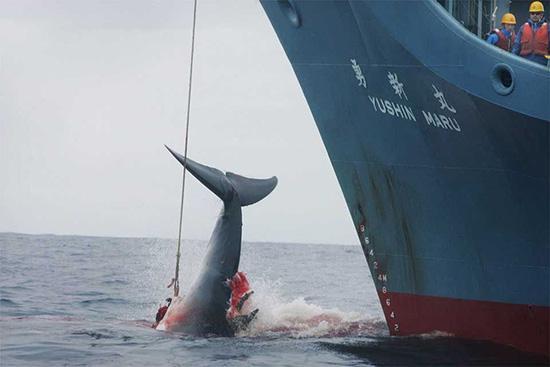 日本捕鲸船队。视觉中国 资料图