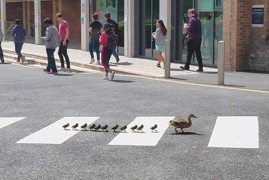 视频:萌翻了!鸭妈妈带11只小鸭们排队走斑马线过