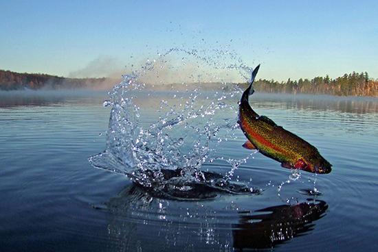 虹鳟鱼。视觉中国 资料