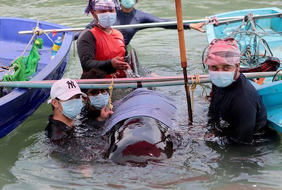 一头巨头鲸在泰国死亡。东方IC 图