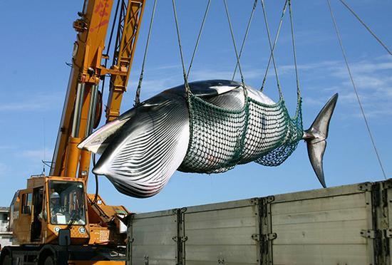日本方面捕獲的小鬚鯨。視覺中國 資料