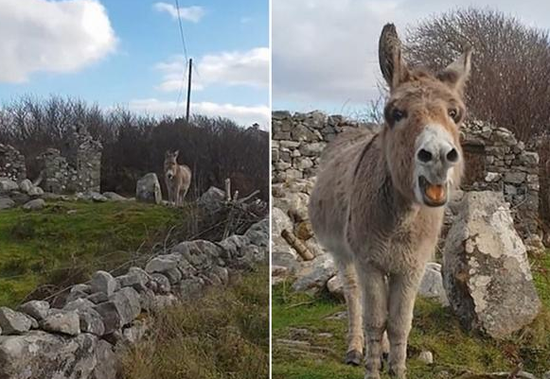 """视频:开口跪!爱尔兰有一头会""""唱歌剧""""的小毛驴"""