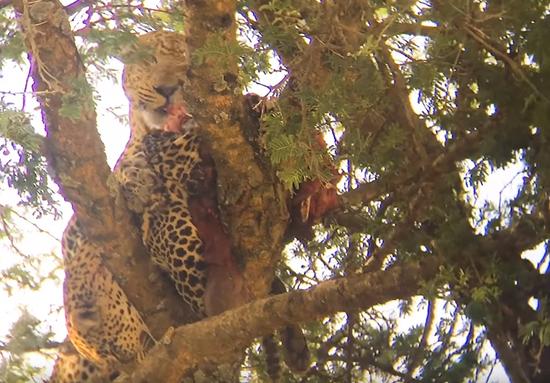 视频:罕见画面!花豹同类相食