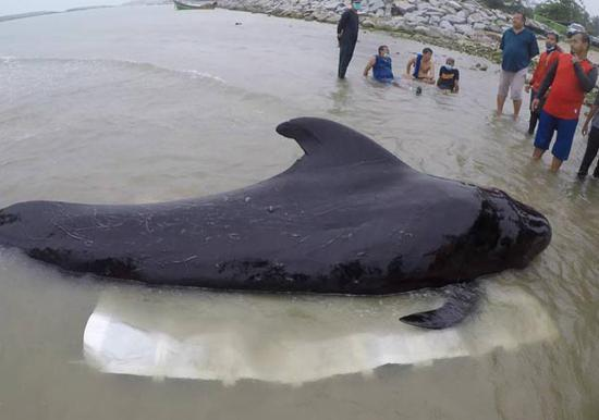 当地时间6月2日,一头吞食了80多个塑料袋的巨头鲸幼崽死在泰国南部海岸。(图片来源:脸谱网)