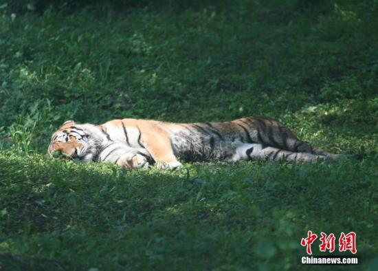 资料图:老虎。张瑶 摄