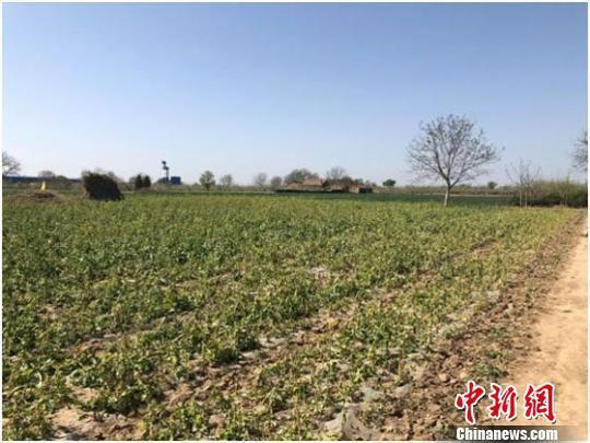 图为受近日低温冻害影响,甘肃庆阳市西峰区境内一处几乎绝收的油菜地。 焦美玲 摄