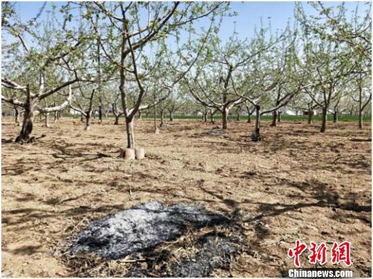 """图为甘肃庆阳市西峰区村民采用""""熏烟法""""减轻苹果冻害。 焦美玲 摄"""