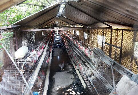 农大养鸡场