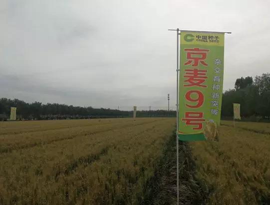 """杂交小麦""""京麦9号""""  本文图片均来自""""科技日报""""微信公众号"""
