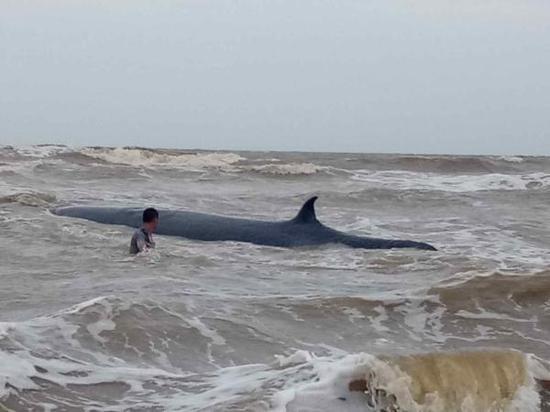 广东湛江通报鲸鱼搁浅:解剖尸体分析死因 制标本