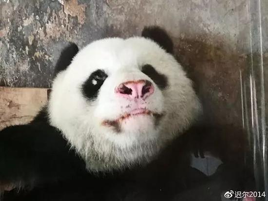 """△2018年6月13日的大熊猫""""伟伟"""""""
