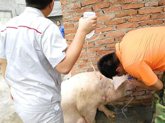 """高校学生实习做""""猪倌"""":扎针不易 人工菲律宾太阳城代理开户配种更难"""