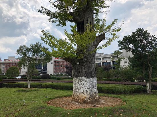 汝城县委、县政府办公楼前的银杏树,树干粗壮高大,一两人合力都难以将其围抱。