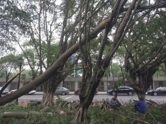 澎湃评:台风中这么多树倒了 不该问个为什么吗?