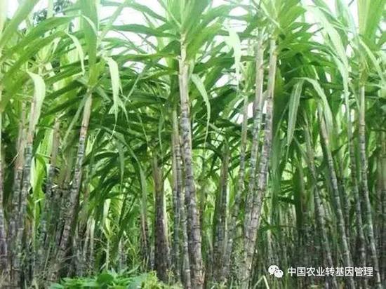 中国农业转基因管理微信公众号 图
