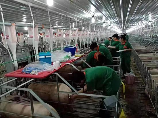 养猪企业走访:母猪存栏目标调高5成项目昼夜施工