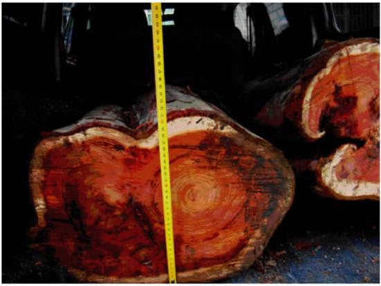 刚被盗伐的红豆杉截面一般为鲜红色,干枯后逐渐变黑。该图事发地为江西省抚州市宜黄县,《江西科学》2014年刊载。