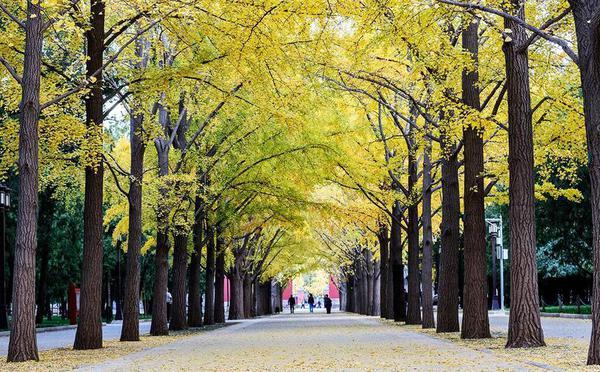 北京银杏林里的秋日童话