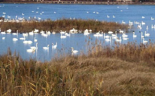 数千只白天鹅飞抵三门峡越冬