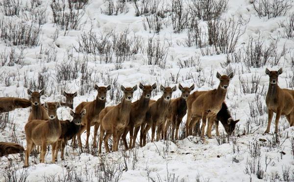 澜沧江源记录到大群白唇鹿