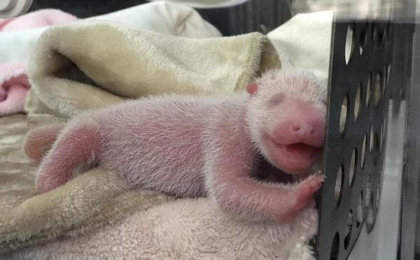 迟到大熊猫双胞胎出生