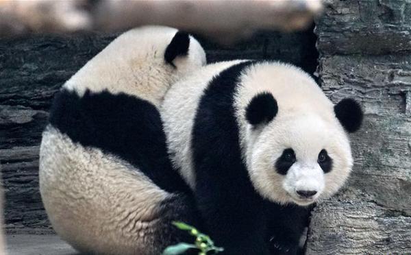 """大熊猫""""萌宝""""和""""萌玉""""落户北京动物园"""