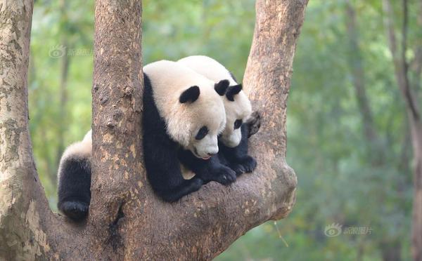 """成都大熊猫上演""""二打一""""好戏"""
