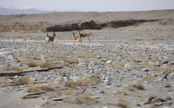甘肃敦煌西湖保护区现大群鹅喉羚
