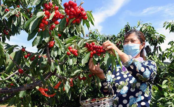 北京迎来樱桃采摘季