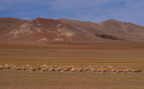 """壮观!西藏藏羚羊大规模进入""""迁徙季"""""""