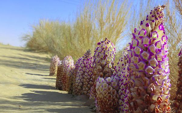 新疆塔克拉玛干沙漠里花开如春