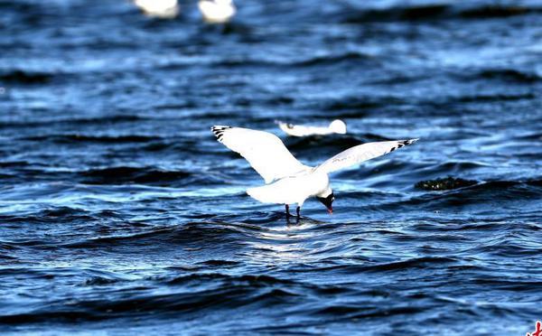 世界濒危物种遗鸥翔集康巴诺尔湖