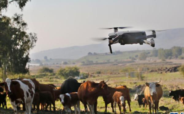 他们用无人机牧牛