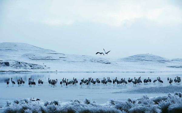 昭通大山包越冬黑颈鹤数量再创历史新高