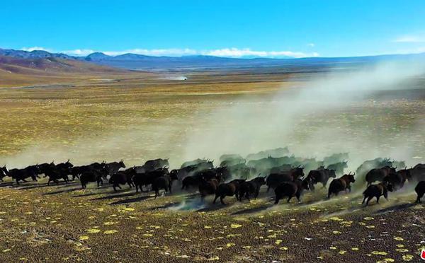 """高原霸主""""搬家"""":200多头野牦牛组团迁徙"""
