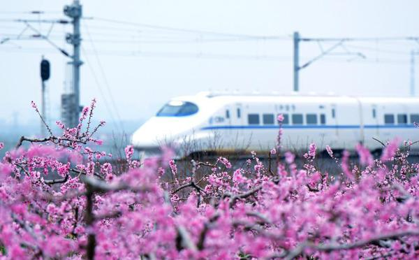 山東青島:萬畝桃花盛開