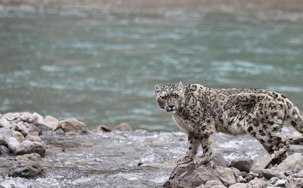 雪豹渡河珍贵画面