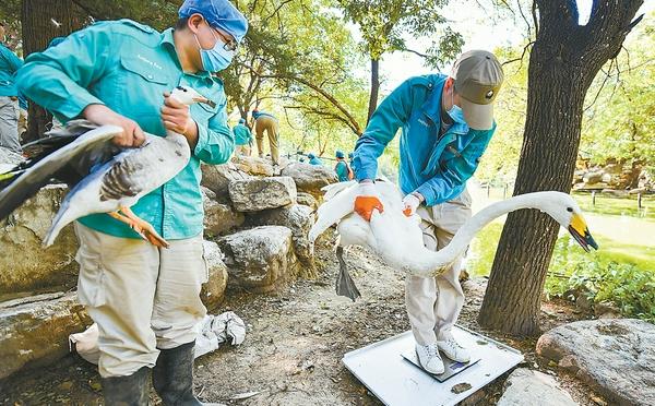 北京动物园水鸟集体体检