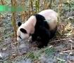 大熊猫下山觅食