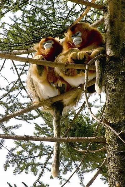 川金丝猴在林间跳跃 村民为它树上挂苹果|苹果|川金丝猴|海拔