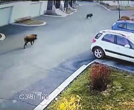 野猪闯进小区一头被击毙一头逃跑:卷帘门硬被撞开